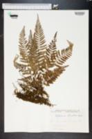 Asplenium obtusifolium image