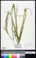 Calamagrostis cinnoides image
