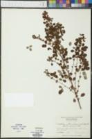 Lespedeza intermedia image