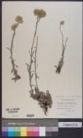 Image of Helichrysum rubicundum
