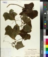 Image of Sicyos pachycarpus