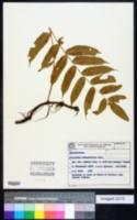 Image of Serpocaulon fraxinifolium