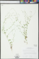 Chaetopappa bellidifolia image