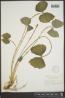 Jeffersonia diphylla image
