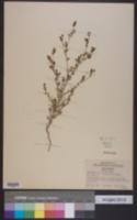 Image of Adenostegia parviflora