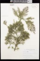 Image of Colletia cruciata
