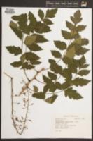 Koelreuteria paniculata image