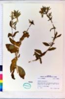 Saponaria officinalis image