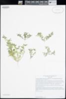 Acmispon maritimus var. brevivexillus image