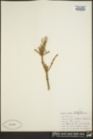 Picea engelmannii image