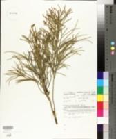 Image of Lycopodium deuterodensum
