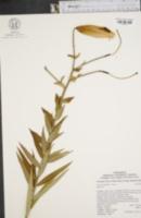 Image of Lilium tigrinum
