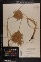 Cyperus lecontei image