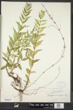 Lycopus amplectens image