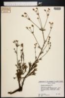 Image of Eryngium cuneifolium