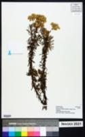 Conyza welwitschii image