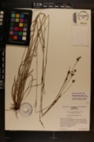 Rhynchospora distans image