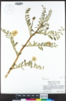 Astragalus hornii image