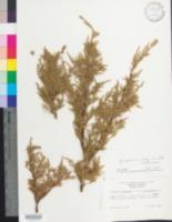 Image of Juniperus x media