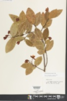 Image of Ochna thomasiana