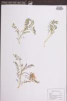 Image of Astragalus bibullatus