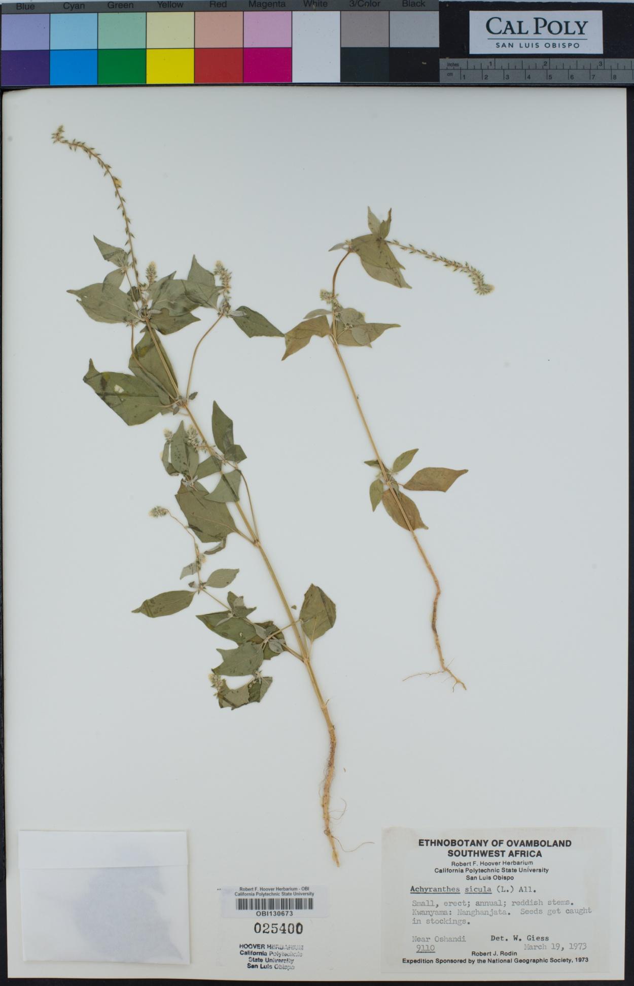 Achyranthes sicula image