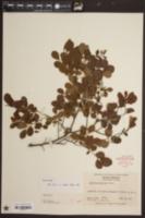 Vaccinium arboreum image