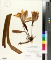 Image of Crinum zeylanicum