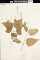 Image of Phryma leptostachya