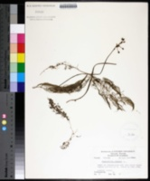 Image of Utricularia foliosa