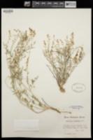 Astragalus wingatanus image