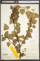 Betula pubescens image