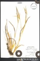 Carex striatula image