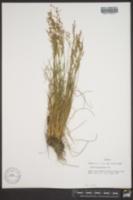 Juncus georgianus image