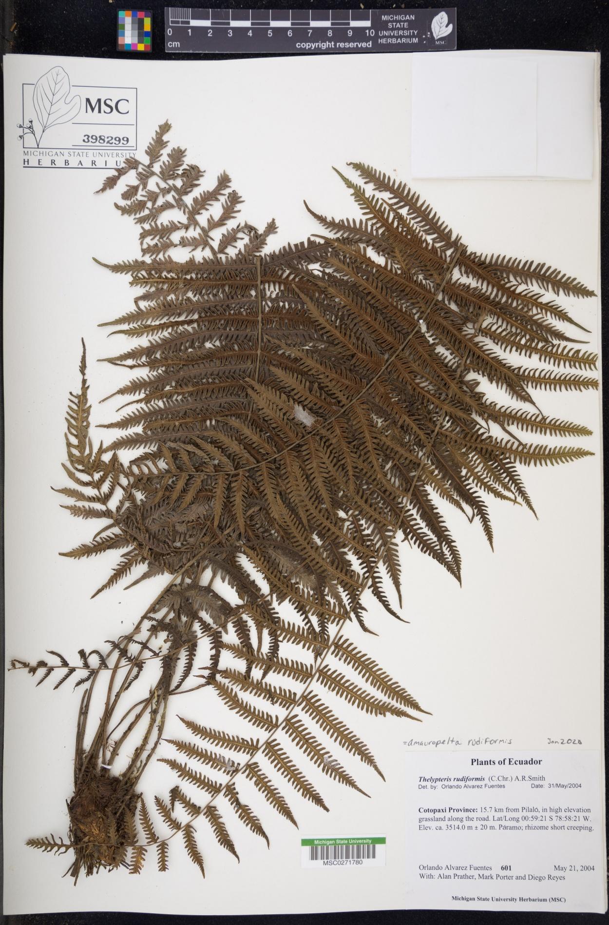 Amauropelta rudiformis image