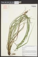 Carex joorii image