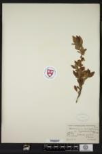 Cladonia pulvinella image
