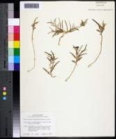 Image of Aristolochia longiflora