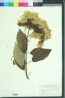 Image of Hydrangea heteromalla
