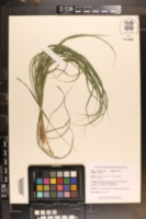 Calamagrostis porteri subsp. porteri image