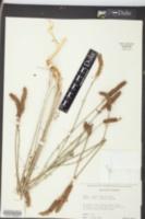Petalostemon phleoides image