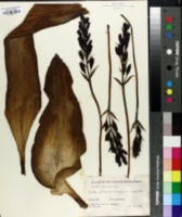 Image of Hypoxis colchicifolia