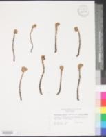 Monotropsis odorata var. odorata image