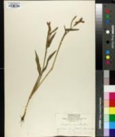 Image of Paspalum macrophyllum