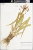 Iris spuria image