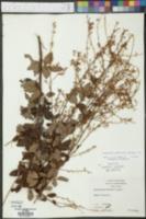 Desmodium glabellum image
