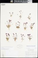Erythranthe purpurea image
