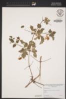 Clematis lasiantha image