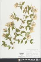 Kolkwitzia amabilis image