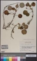 Shortia uniflora image